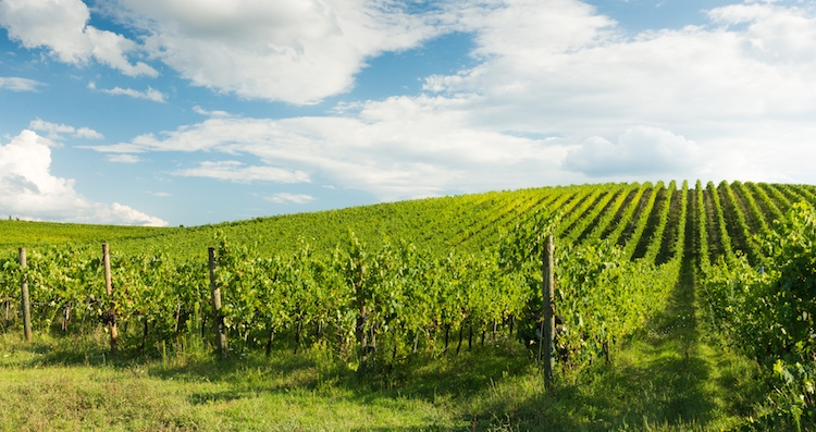 vite-vigneto-vitigno-vigna-by-alexandro900-fotolia-750.jpeg