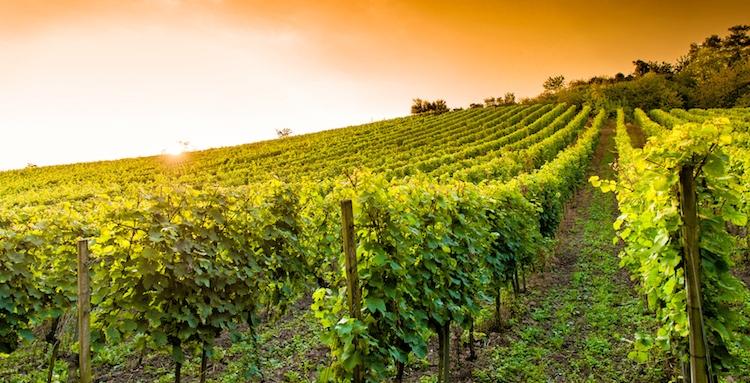 vite-vigneto-vitivinicoltura-by-m-rosenwirth-fotolia-750
