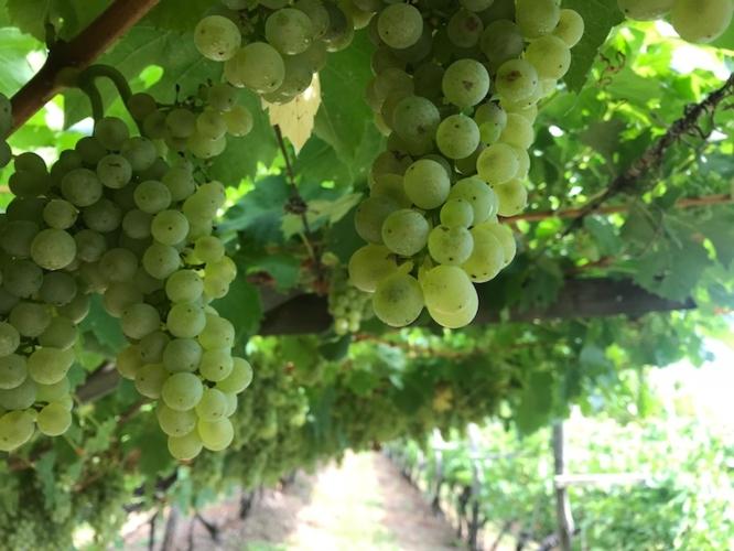 vite-viticoltura-vigneto-by-cristiano-spadoni-agronotizie-750.jpg