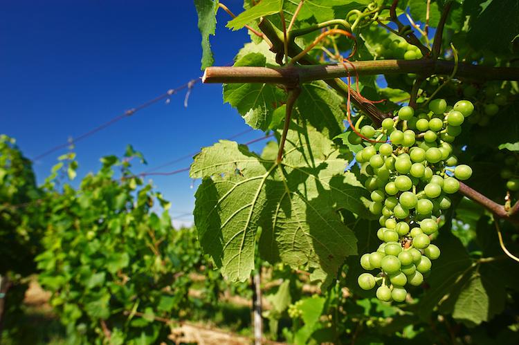 vite-vitigni-vitigno-uva-bianca-by-m-bonotto-fotolia-750.jpeg
