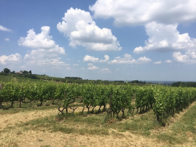 vite-vitigno-vino-fattoria-zerbina-18-giu-2019-evento-caratteri-forti-fonte-giulia-romualdi-agronotizie