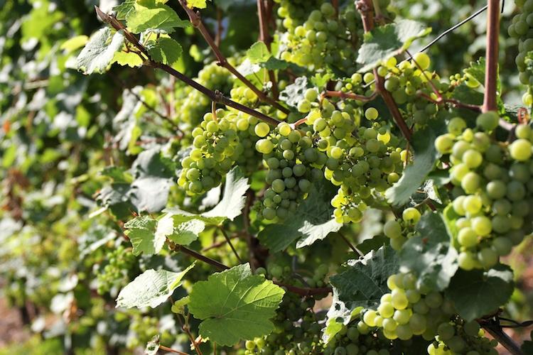 vite-vitigno-viticoltura-uva-by-bjorn-wylezich-fotolia-750