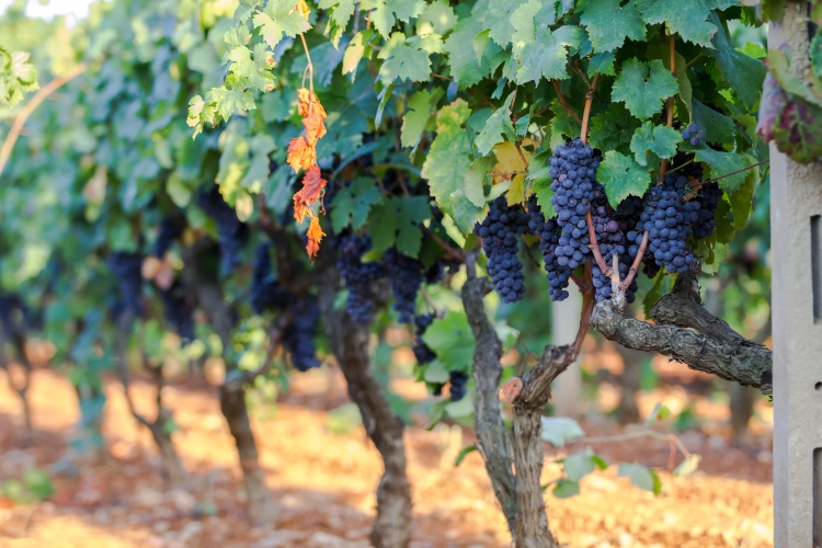 vite-vitivinicoltura-vitigno-grappoli-primitivo-manduria-puglia-by-anna-fedorova-adobe-stock-750x500.jpeg