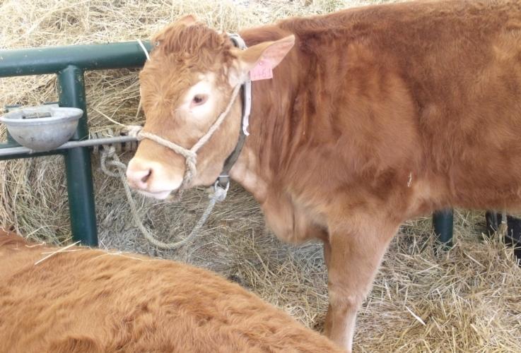 vitello-posta-abbeveratoio-by-matteo-giusti-agronotizie-jpg