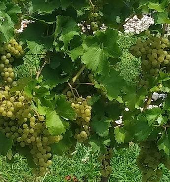 viticoltura-sostenibile-convegno-faenzafiere-20160318