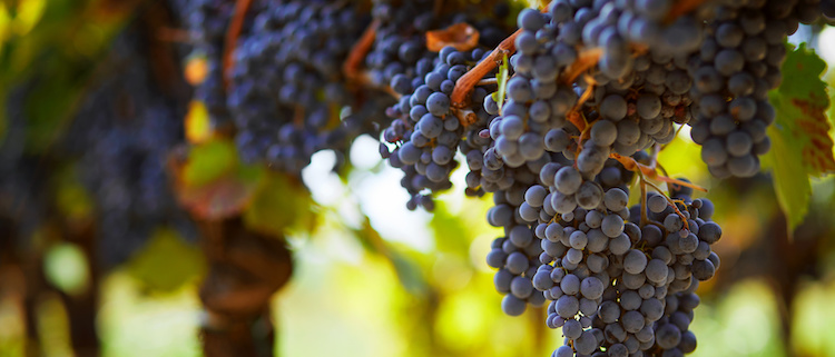 viticoltura-vigneto-vite-grappoli-uva-nera-vitivinicoltura-by-rostislav-sedlacek-adobe-stock-750x321