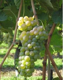 vitigni-trentini-iasma.jpg