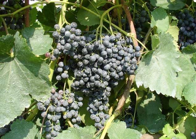 vitigno-malbo-gentile-fonte-crpv