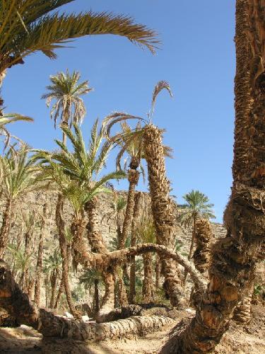 wadi-feiran-palme-colpite-punteruolo-rosso