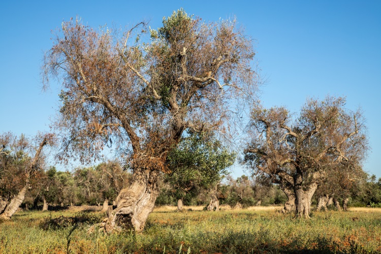 xylella-fastidiosa-olivi-infetti-salento-by-cesare-palma-adobe-stock-750x500.jpeg