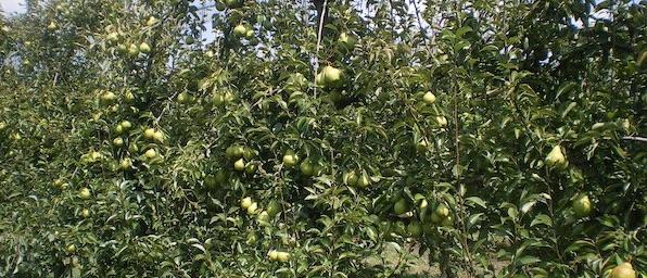 Pero, open day portainnesto FOX9 - Plantgest news sulle varietà di piante