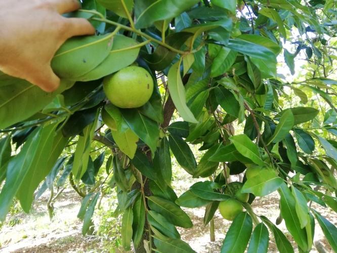 zapote-nero-pianta-frutto-orto-di-rosolino-rubrica-agroinnovatori-ott-2021-fonte-l-orto-di-rosolino