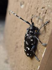 Anoplophora_chinensis_by-Wikipedia_