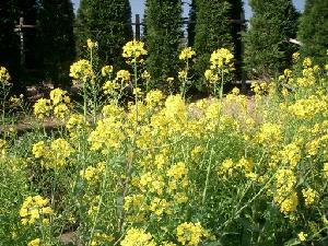 Brassica_carinata-fiore