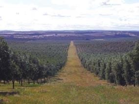 Oliveto-olivicoltura-intensiva-falkland-river-web-280