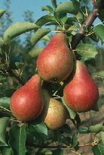 Pero-Carmen-frutti-pere