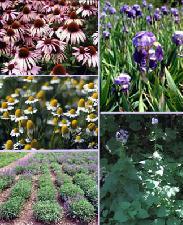 Erbe officinali: coltivazione, trasformazione e utilizzo