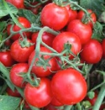 Pomodoro-da-industria-cora-seeds