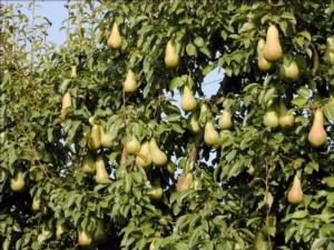 abate-albero-fonte-newco-pera