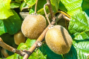 Kiwi, produzioni e vendite ancora in calo - Plantgest news sulle varietà di piante