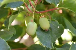 Baby-kiwi, un frutto da mangiare tutto a zero colesterolo - Plantgest news sulle varietà di piante
