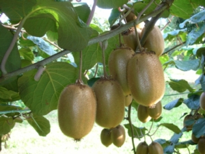 actinidiaboericageoplant