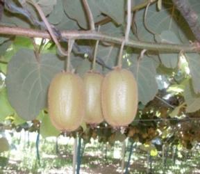actininidia-kiwi-arssa-calabria