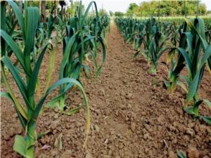Toscana, l'aglione e il grano 23 diventano varietà tutelate - Plantgest news sulle varietà di piante