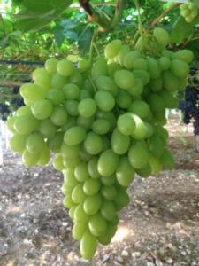 agricoper-uva-sunshine