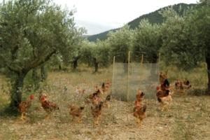 Diserbo dell'olivo, ecco come sfruttare polli e asparagi