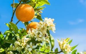Upl per gli agrumi, soluzioni complete per la difesa