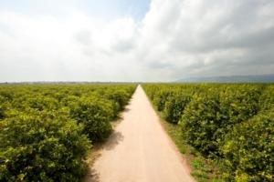 agrumeto-a-limone-di-siracusa-igp03set2018consorzio-tutela-limone-di-siracusa