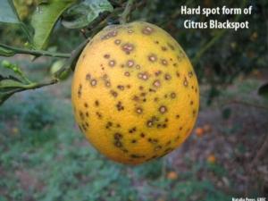 agrumi-black-spot-hardspot2npbs-authornataliaperes-grecviausdaaphisppqcenterforplanthealthscienceandtechnology-4-nov-2013