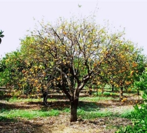 agrumi-pianta-tristeza-citrus-tristezza-by-pstct
