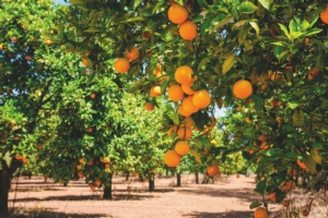 alberi-arance-fonte-istock-160586110