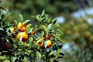 albero-alberi-frutta-agrumi-byflickrcc20-Allie_Caulfield