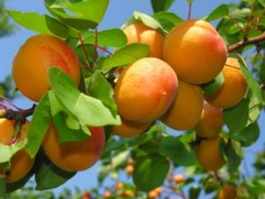 Albicocche, previsioni in calo - Plantgest news sulle varietà di piante