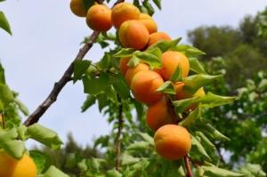 Innovazioni tecniche e varietali dell'albicocco - Plantgest news sulle varietà di piante