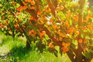 albicocco-albicocche-albicocchi-frutta-estiva-drupacee-by-dmytro-sukharevskyi-adobe-stock-750x500