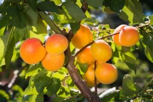 Autorizzazioni eccezionali: fruttiferi, vite e colture industriali