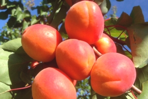 Albicocco, cosa coltivare nel nord Italia? - Plantgest news sulle varietà di piante