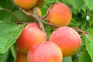 Albicocco, tra varietà e crisi produttiva - Plantgest news sulle varietà di piante