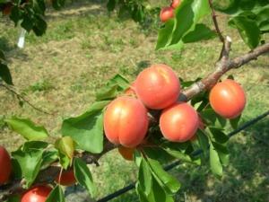 Albicocco, cosa c'è di nuovo in casa Geoplant - Plantgest news sulle varietà di piante