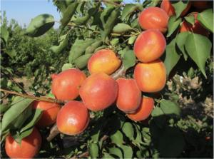 albicocco-varieta-nelson-fonte-psb-2021