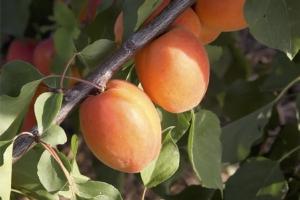 Albicocco, un'altalena di emozioni - Plantgest news sulle varietà di piante