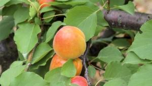 Albicocco, arrivano Nirosa 1 e Nirosa 2 - Plantgest news sulle varietà di piante