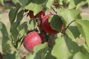 Albicocco, la potatura in post-raccolta secondo Ips - Plantgest news sulle varietà di piante