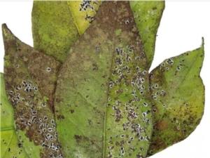 Aleurodide spinoso, primo ritrovamento in Toscana