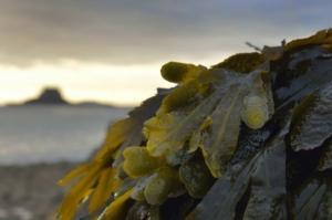 alghe-calseagrit-fonte-timazootec