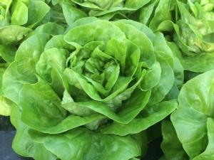 Bremia Bl: 36Eu, Enza Zaden c'è! - Plantgest news sulle varietà di piante